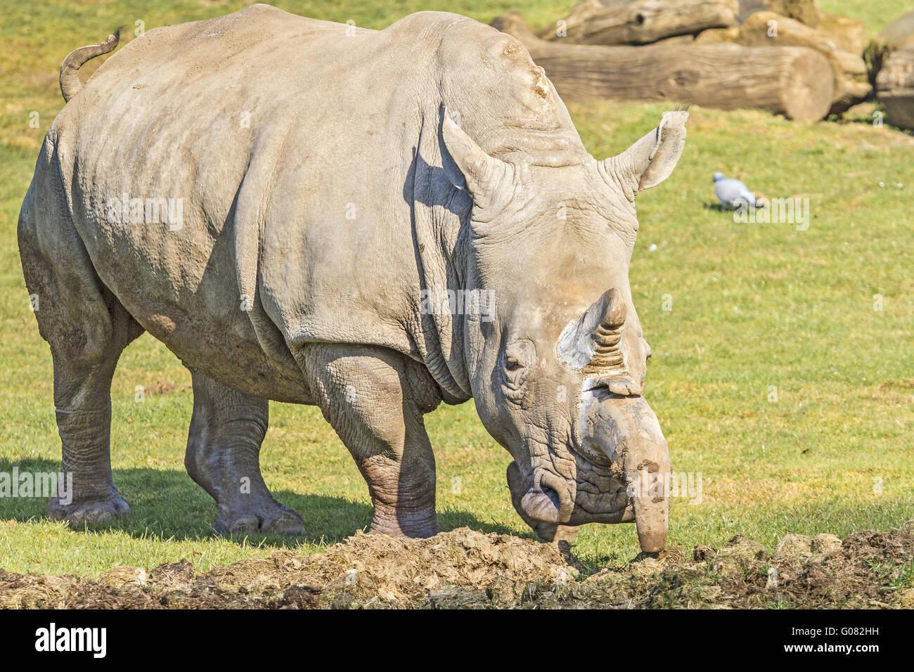White Rhino (Ceratotherium simum) Visiting Its Mid - Stock Image
