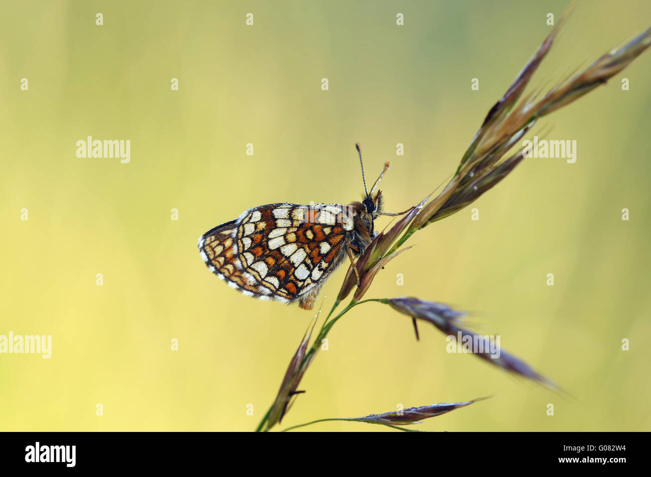 heath fritillary - Stock Image