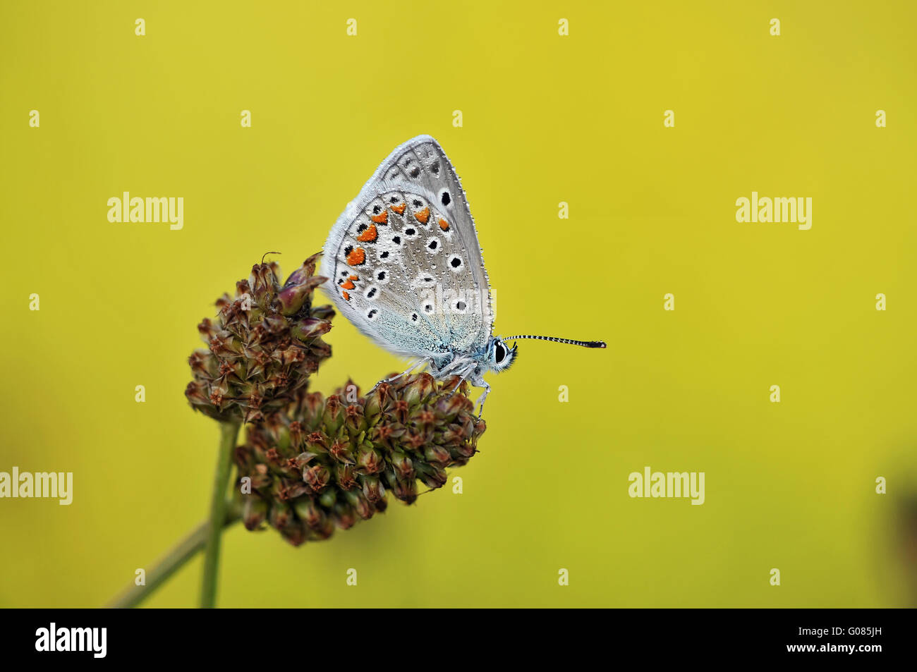 gossamer-winged butterfly - Stock Image