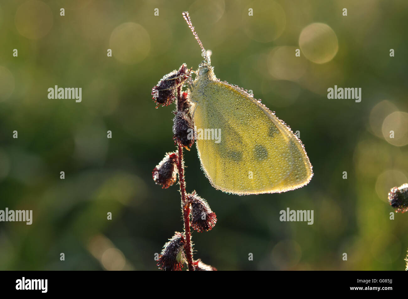 cabbage butterfly - Stock Image