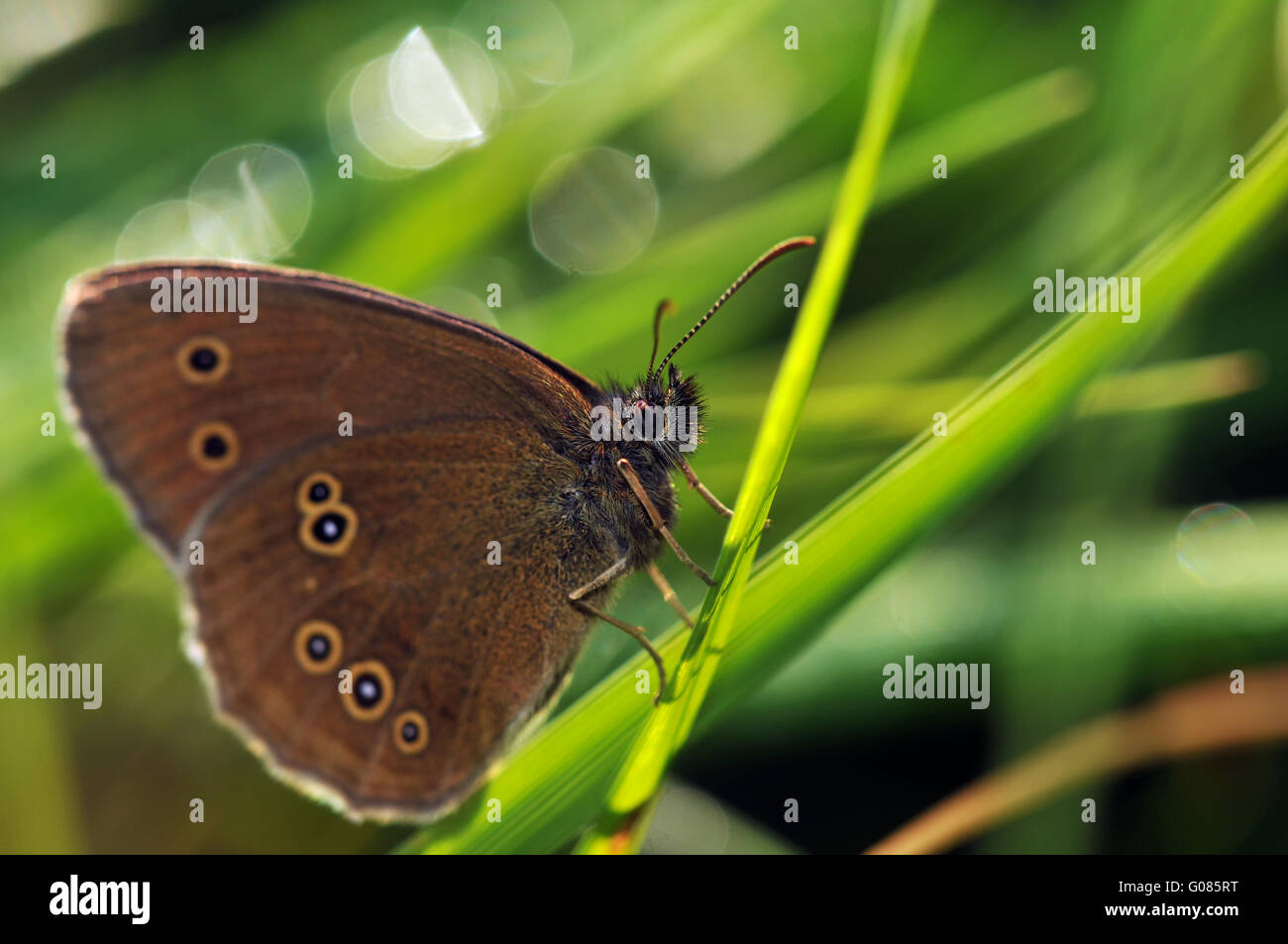 ringlet (butterfly) - Stock Image