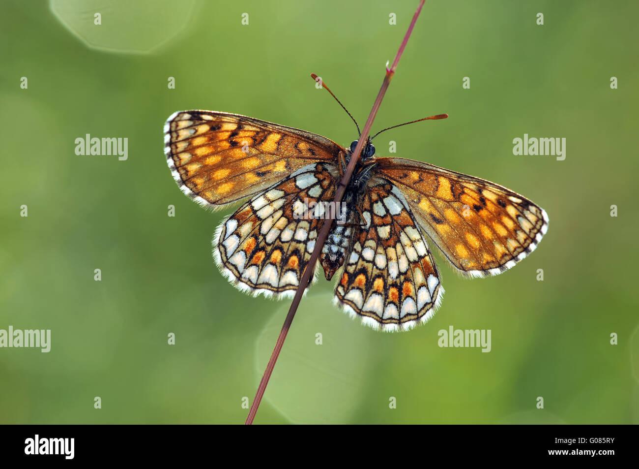 heath fritillary open - Stock Image