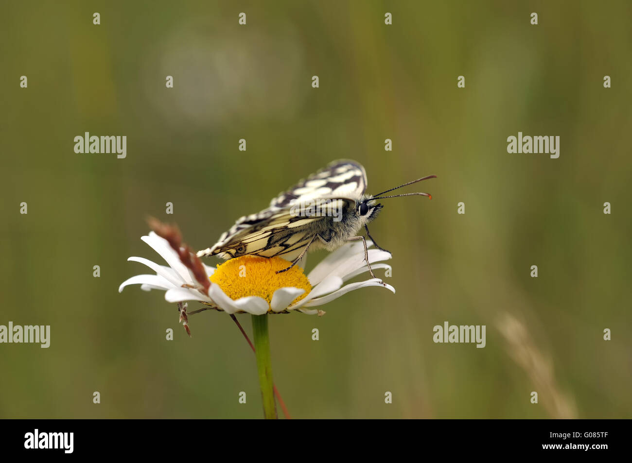 marbled white open Stock Photo