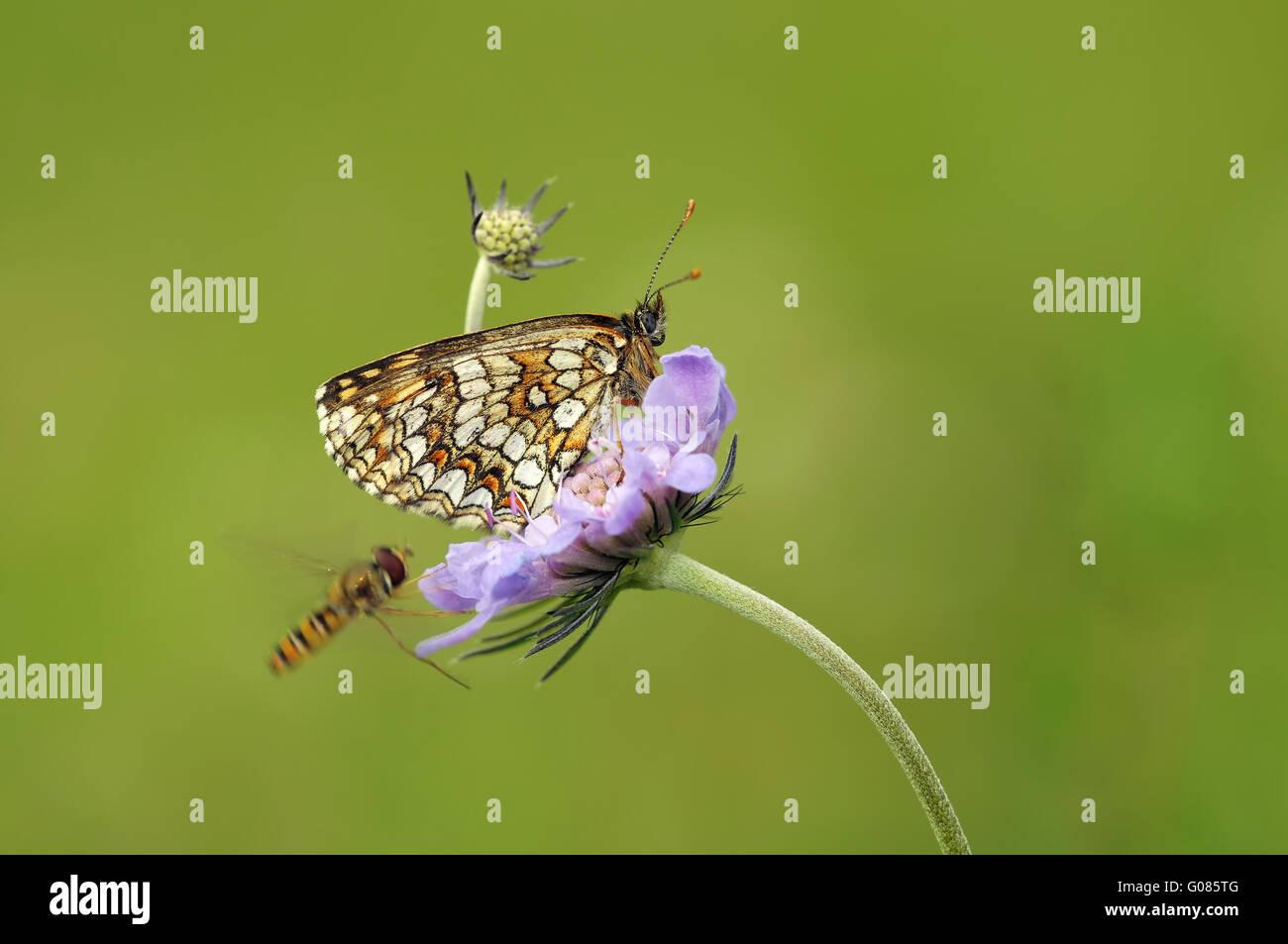 heath fritillary on flower - Stock Image