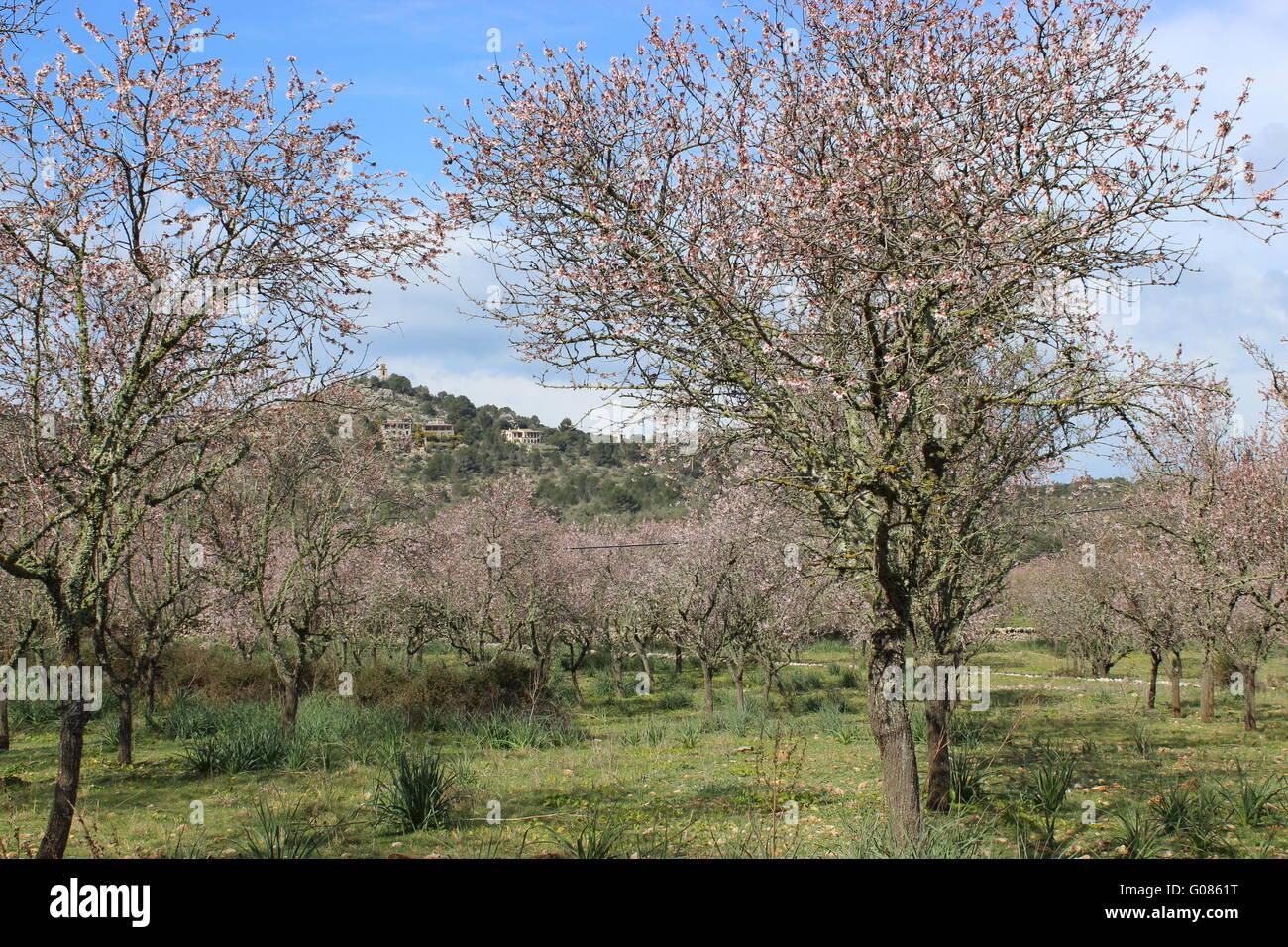 Old almond trees at Valldemossa Stock Photo