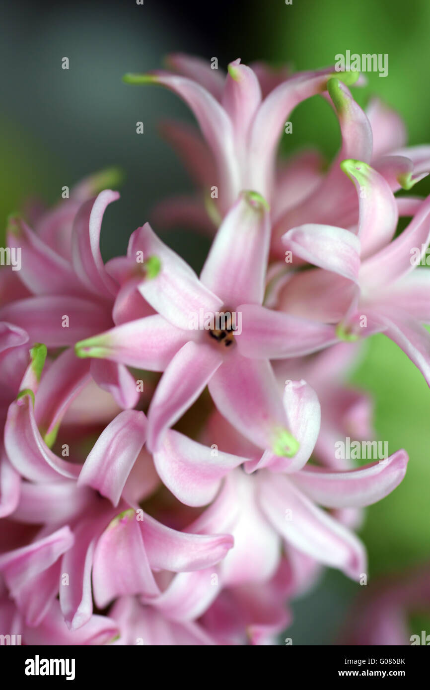 Hyacinth - Stock Image