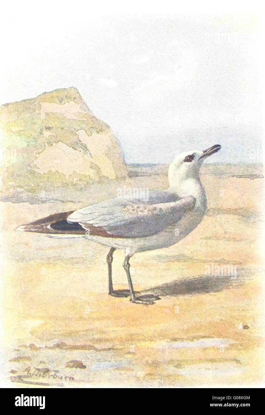 BIRDS: Common Gull , antique print 1901 - Stock Image