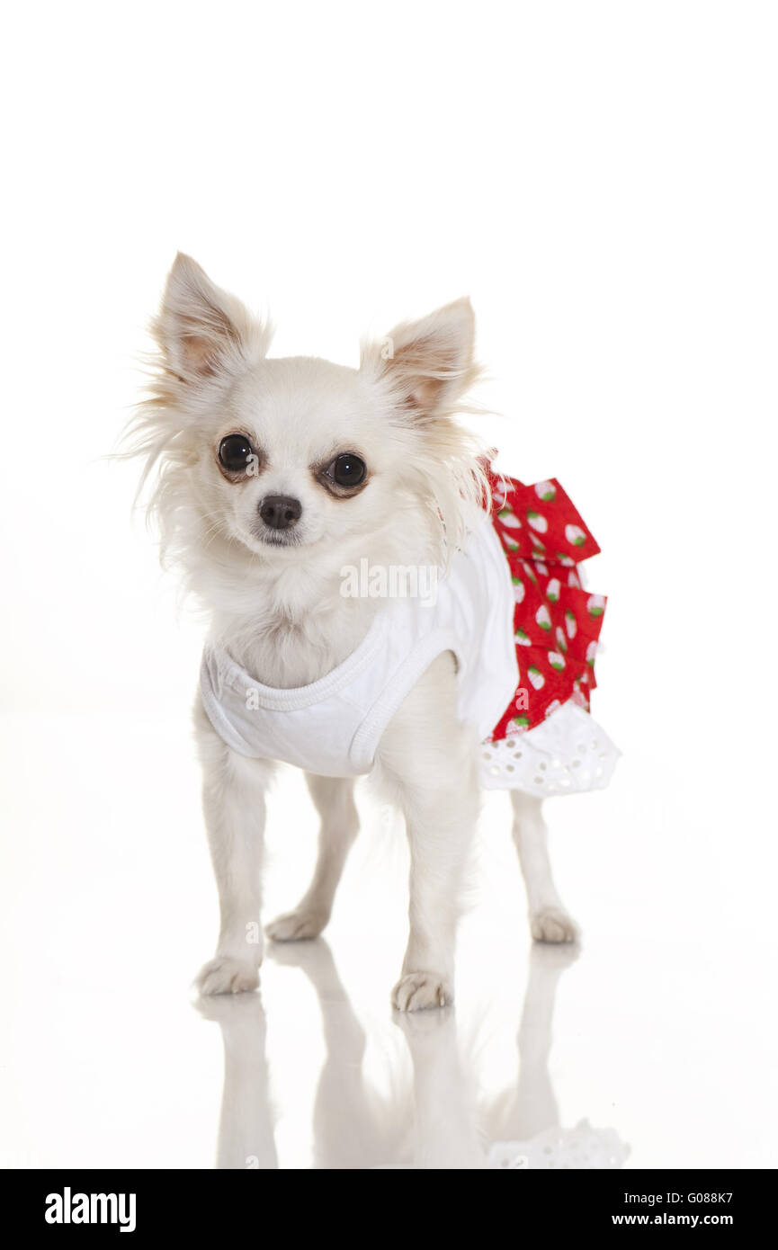 chihuahua with dress - Stock Image