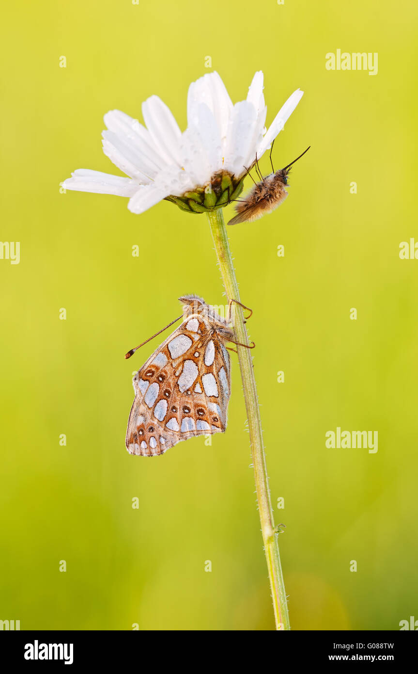 Queen of Spain fritillary and bee flies - Stock Image