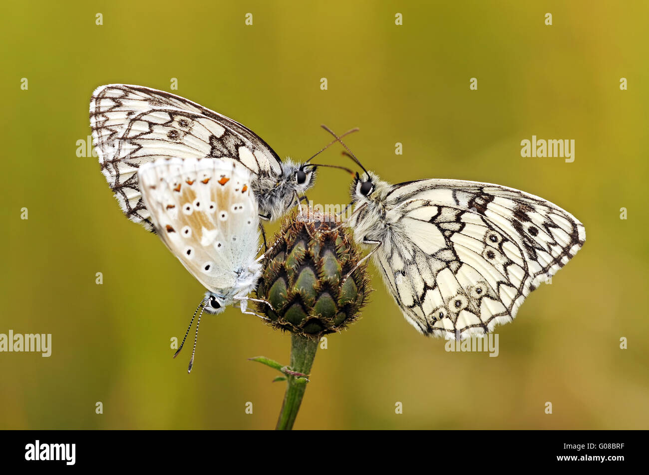 two marbled whitemore and a chalkhill - Stock Image