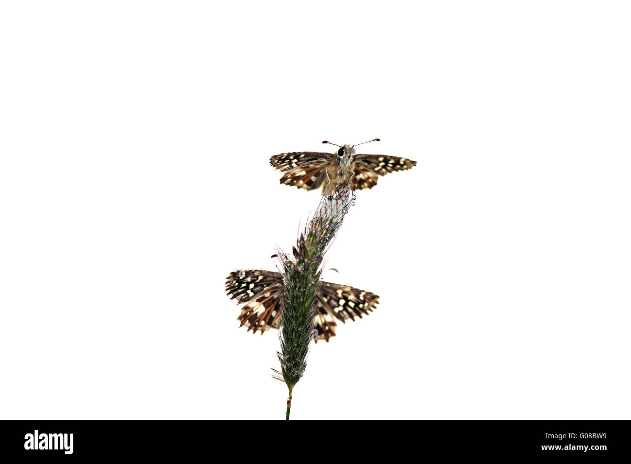 two grizzled skipper - Stock Image