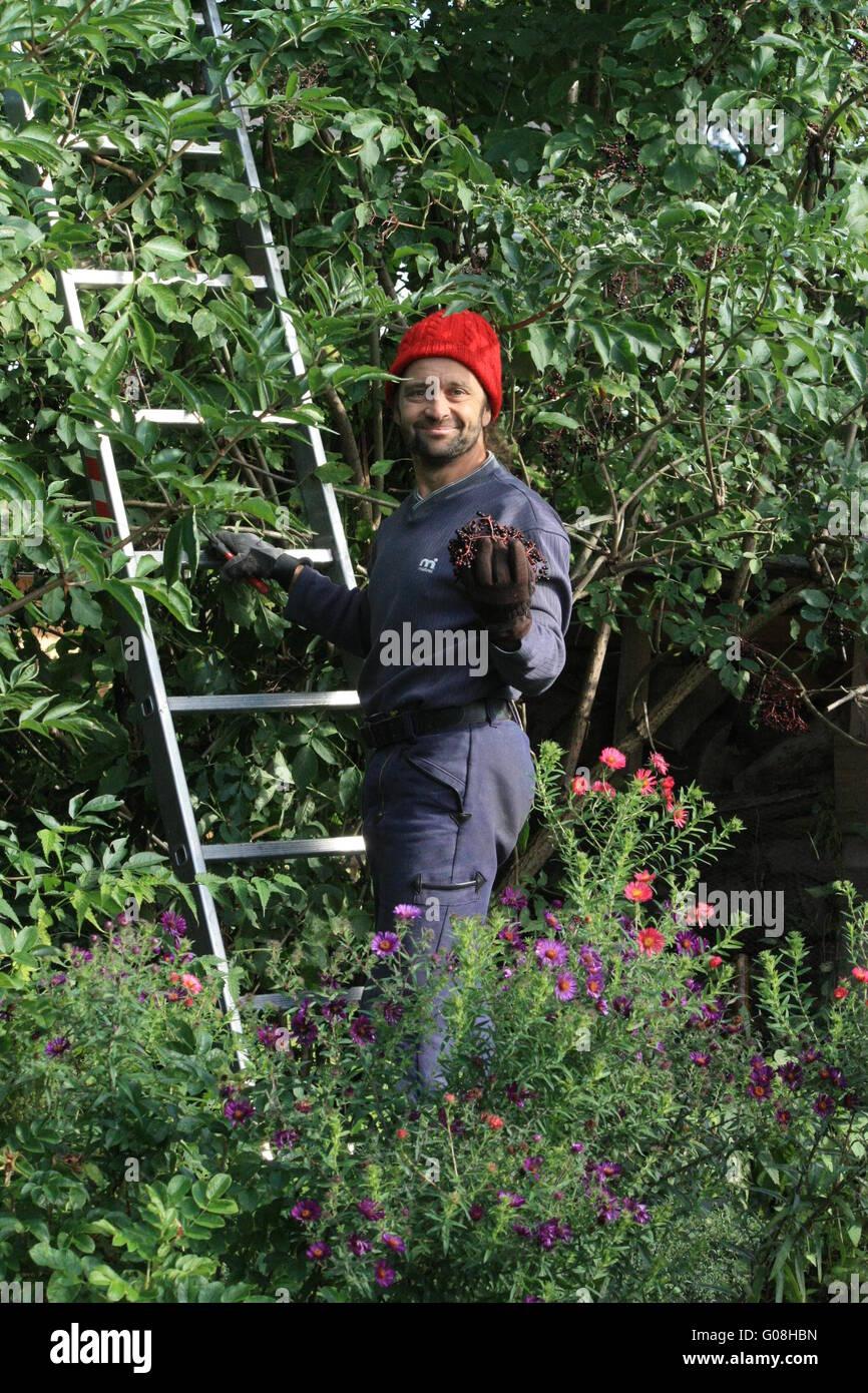 Gardener with a red cap reaps elderberries - Stock Image