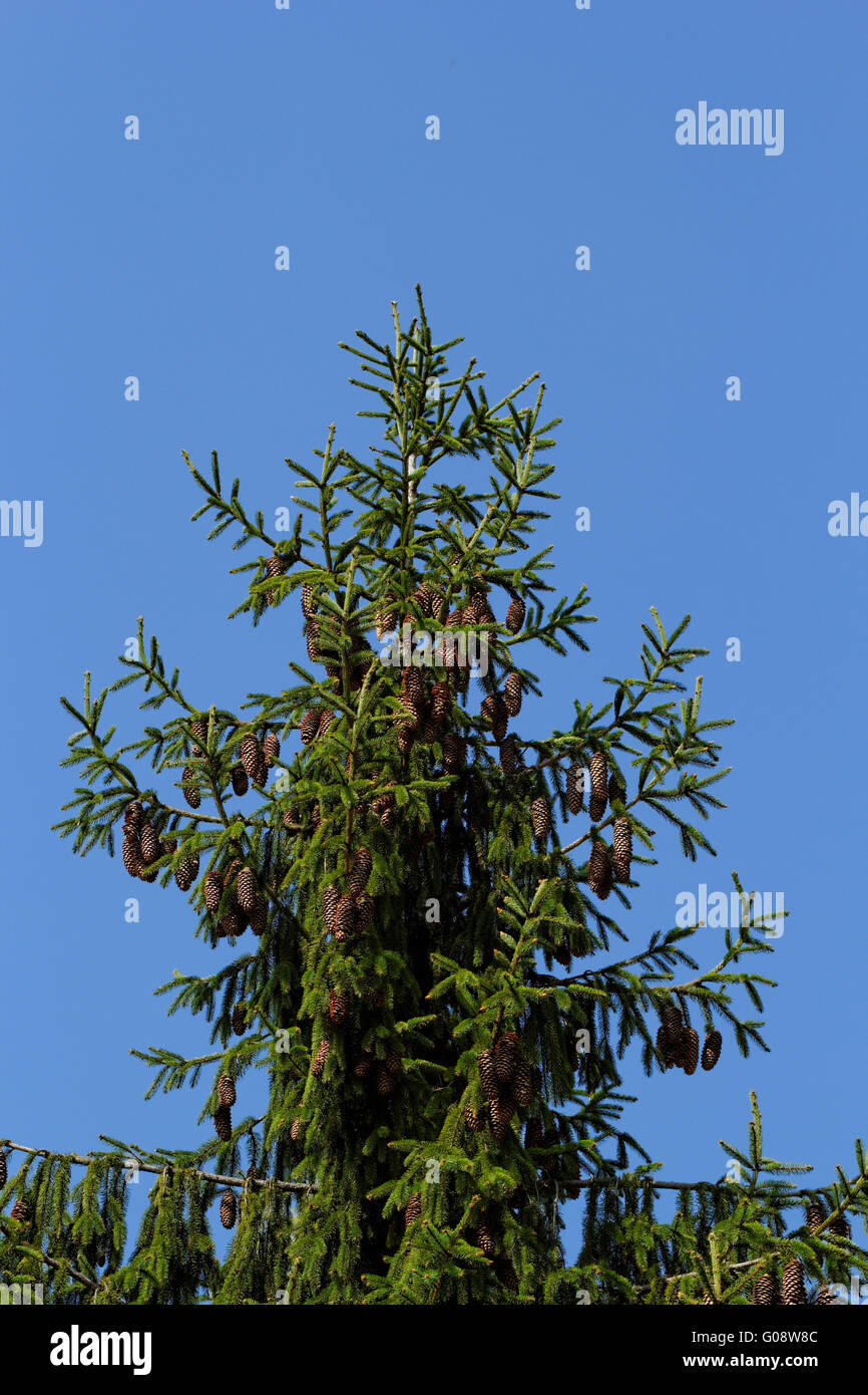 pine tree with fresh pine shoots and red pinecones - Stock Image