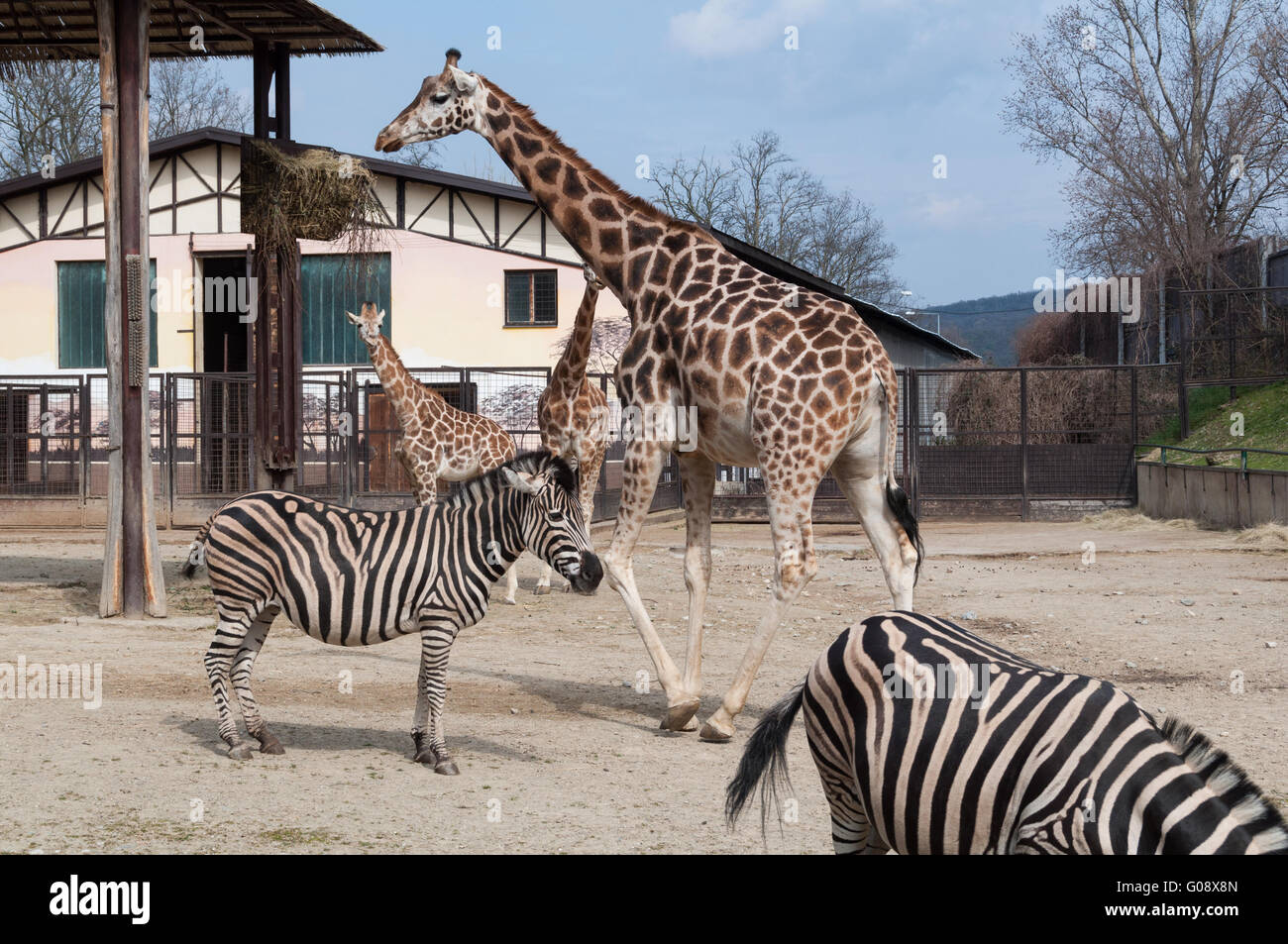 Zebras and Giraffes at the ZOO in Bratislava, Slovakia - Stock Image