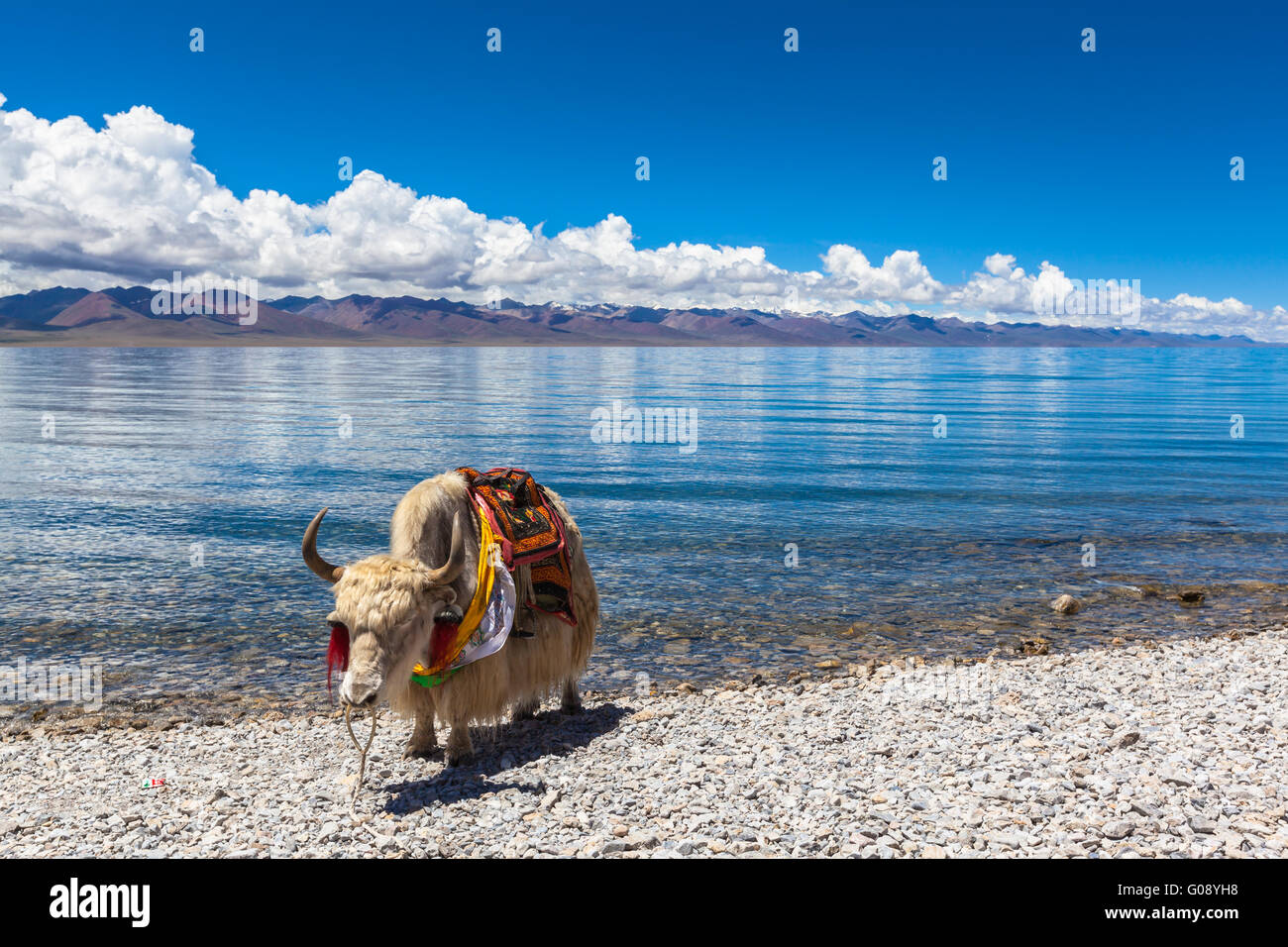 White yak standing on the lakeside of Namtso, Tibet, China - Stock Image