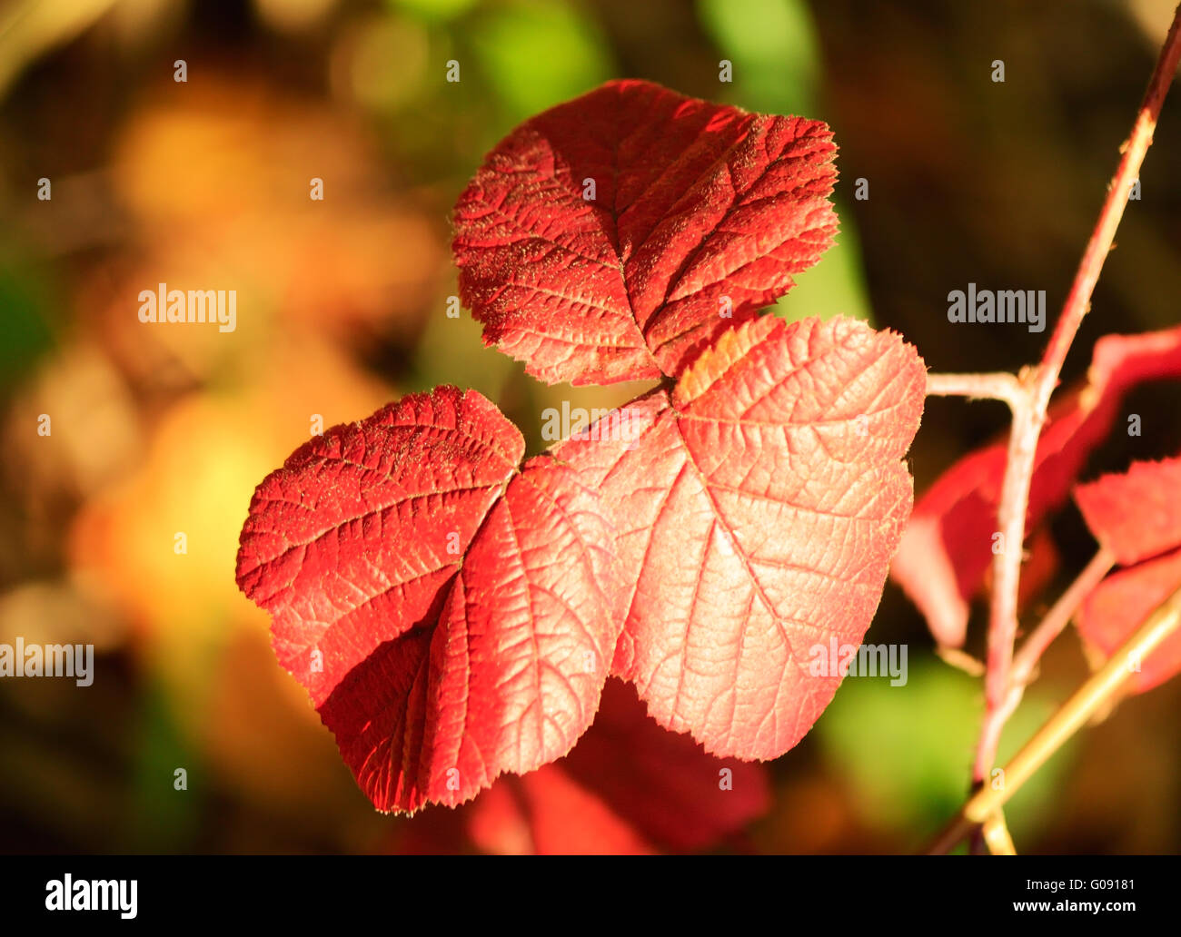 Autumn, beautiful red BlackBerry leaves. - Stock Image