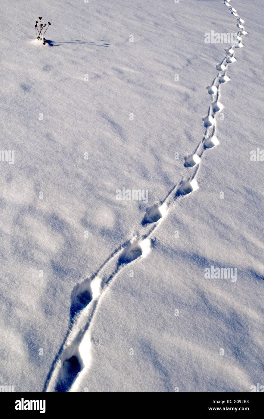 Animal tracks in the snow on sunny winter day - Stock Image