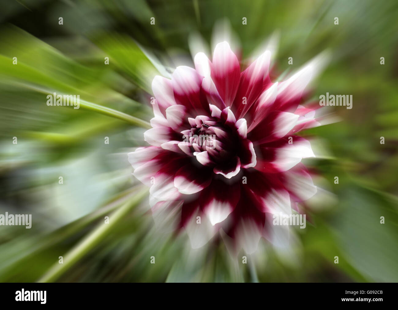 Dahlia hybrid with zoom effect - Stock Image