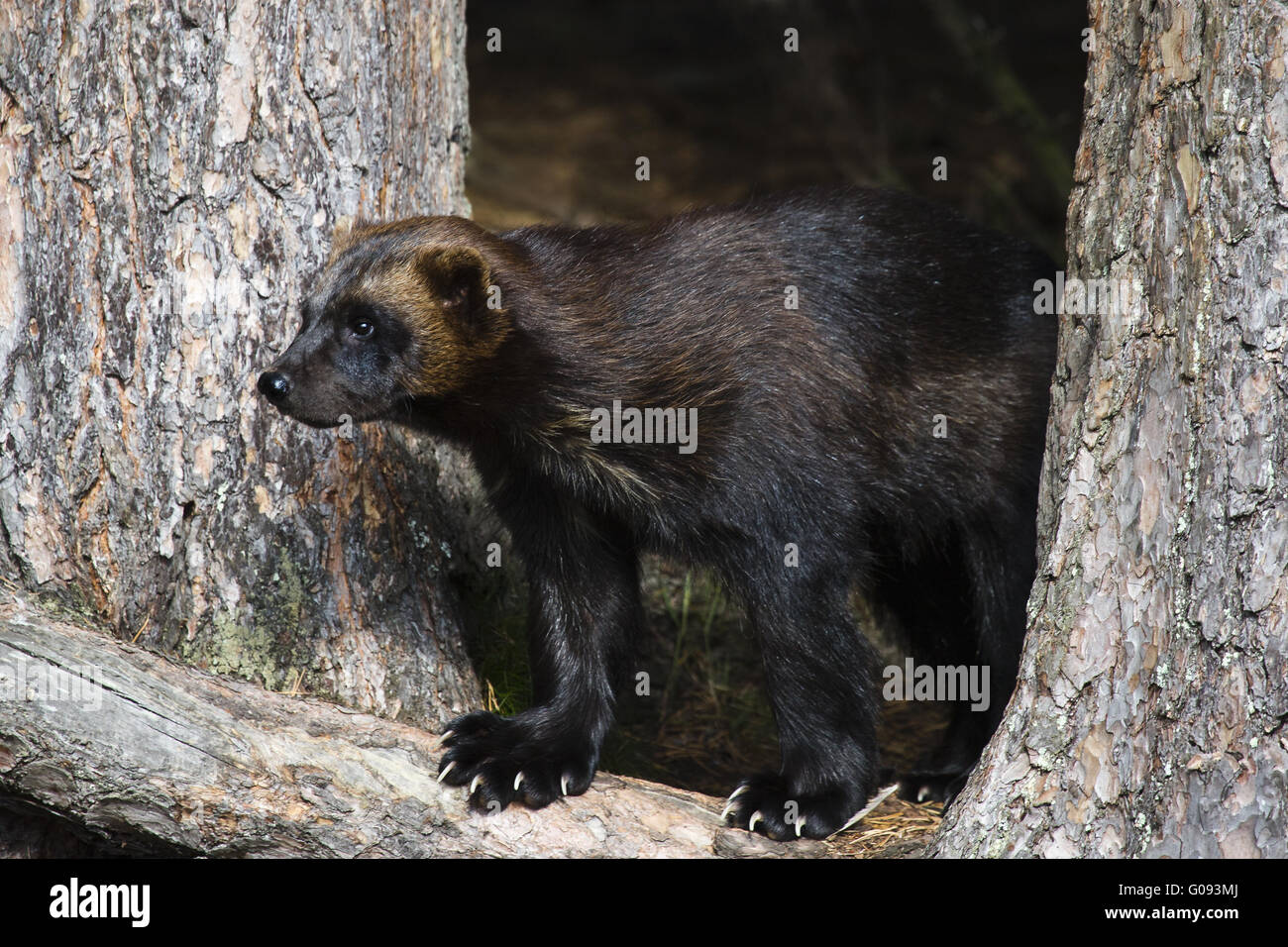 wolverine between trees Stock Photo