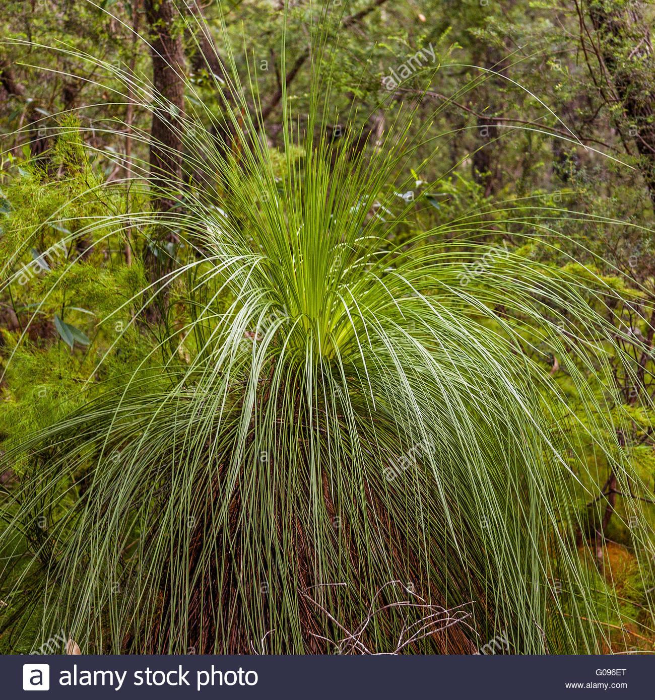 Grass Trees (Xanthorrhoea} Queensland Australia - Stock Image