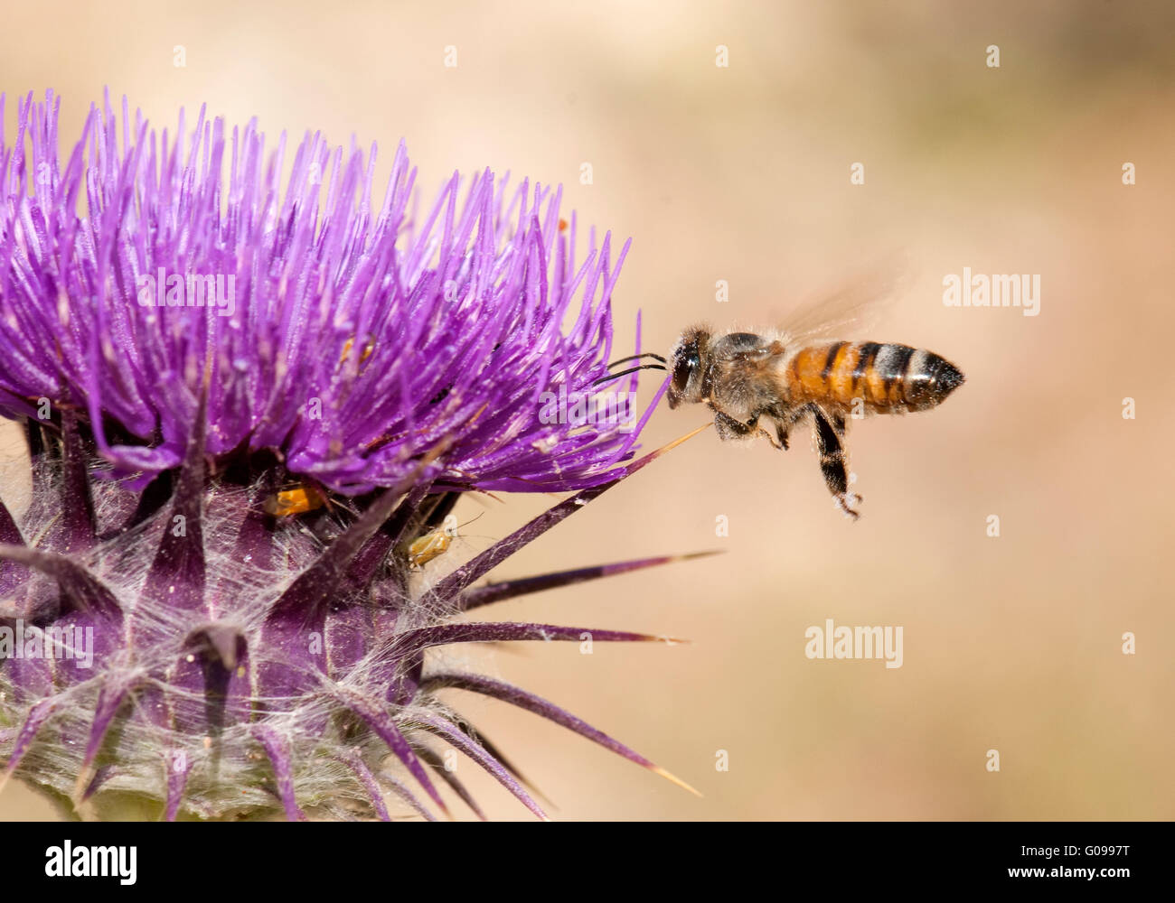 Honey bee approaching thorn flower - Stock Image
