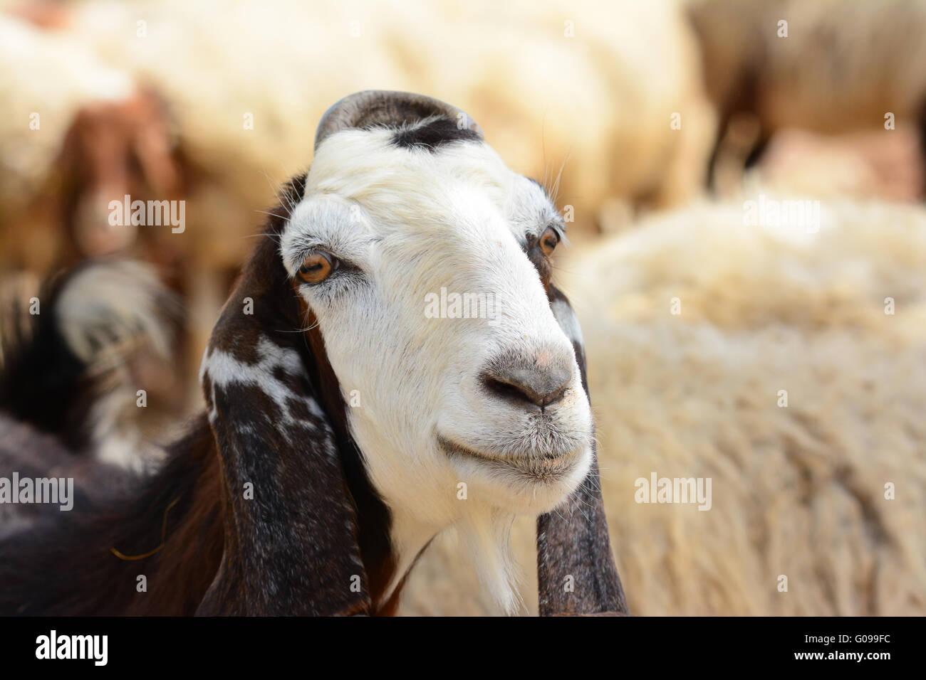 Goat portrait - Stock Image