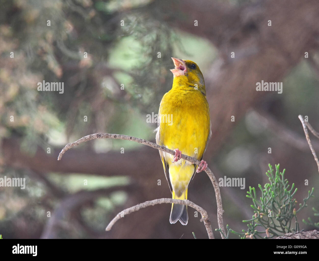 Green-finch sings  in the forest - Stock Image