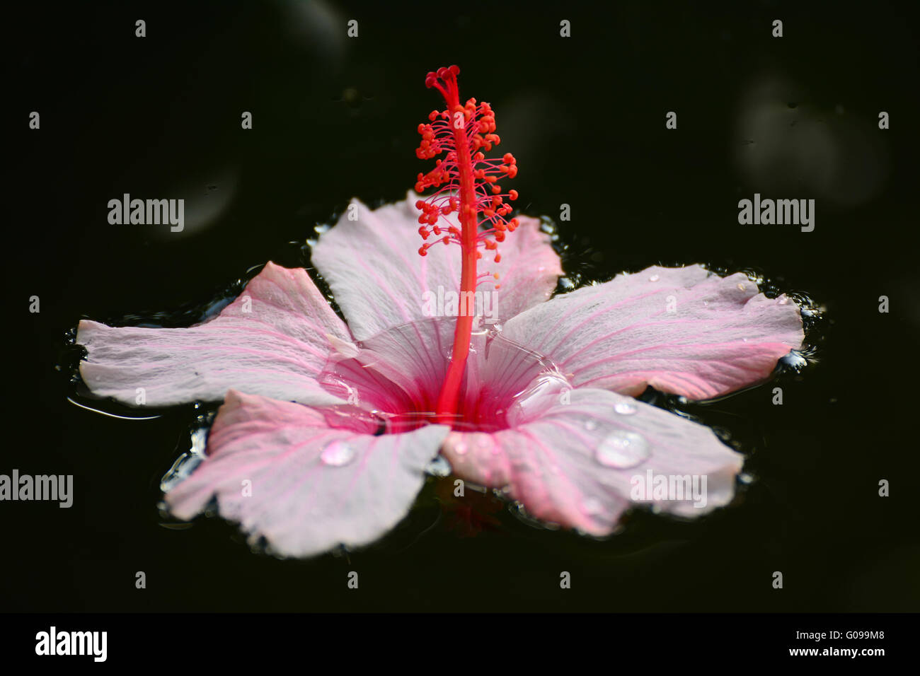 Hibiscus Flower Floating On Water Stock Photos Hibiscus Flower