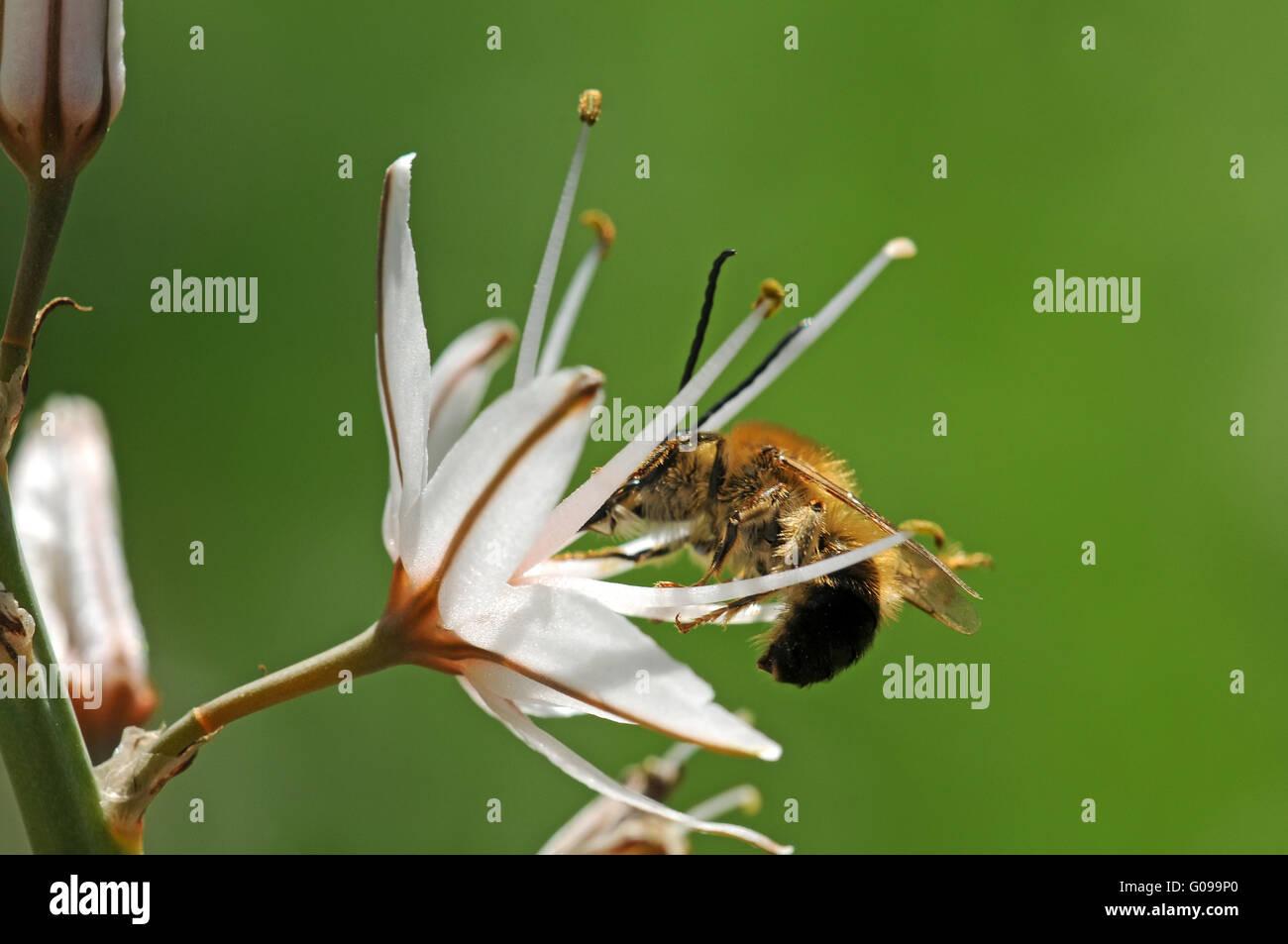 Wild bee pollinating Common Asphodel - Stock Image