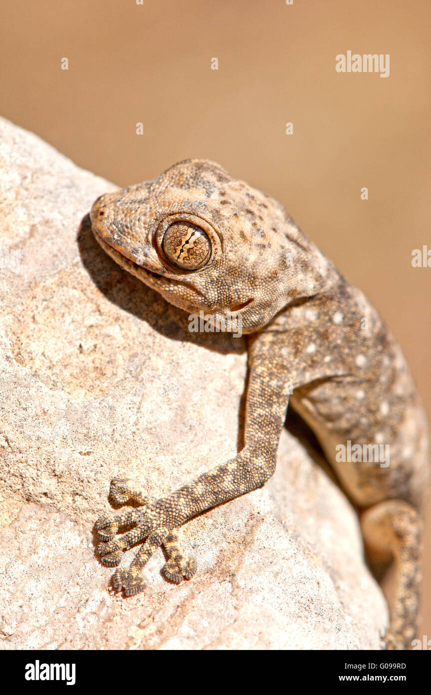 Gecko hugging rock Stock Photo