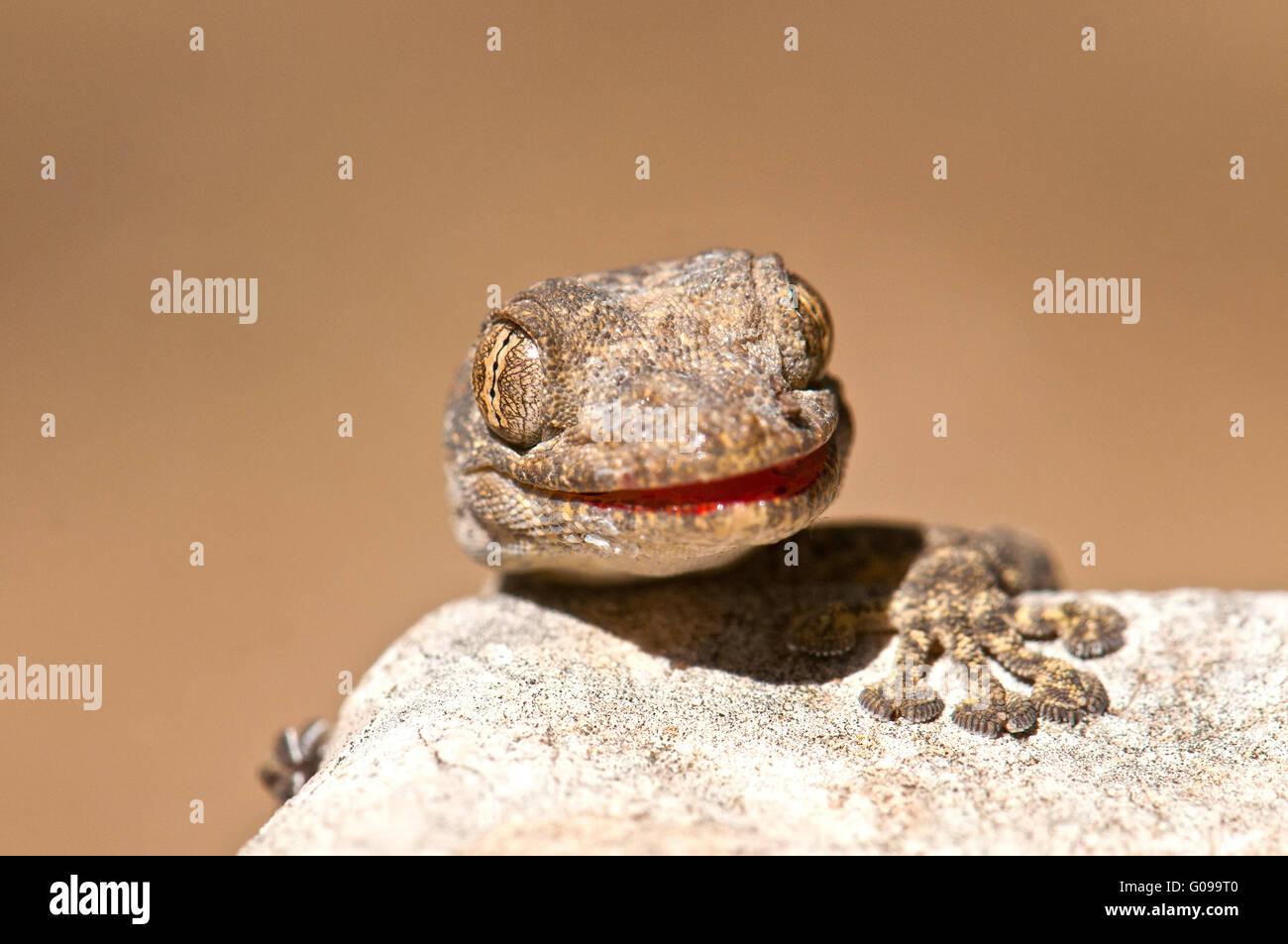 Ptyodactylus guttatus, Fan-fingered gecko Stock Photo