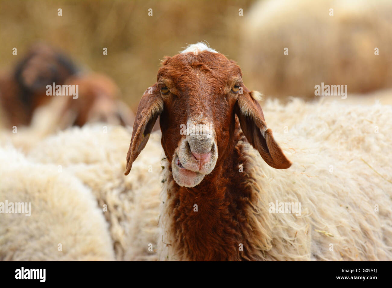 Funny sheep portrait - Stock Image