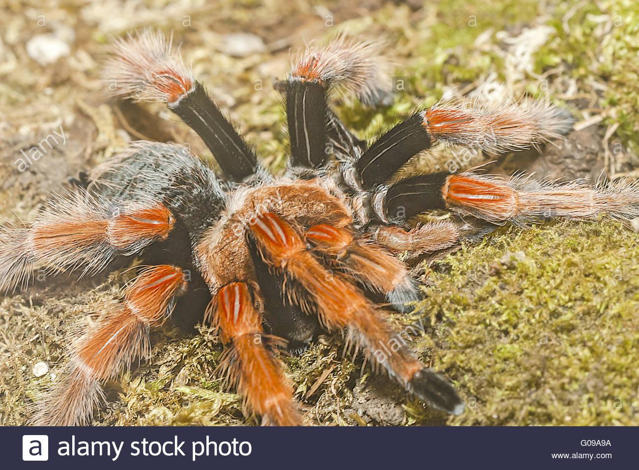 Fire Leg Tarantula (brachypelma bohemei) Mexico - Stock Image