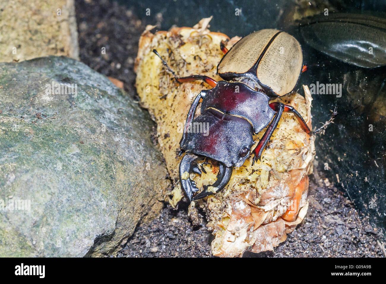 Giant Yellow Stag Beetle (Odontolabis femoralis) T - Stock Image