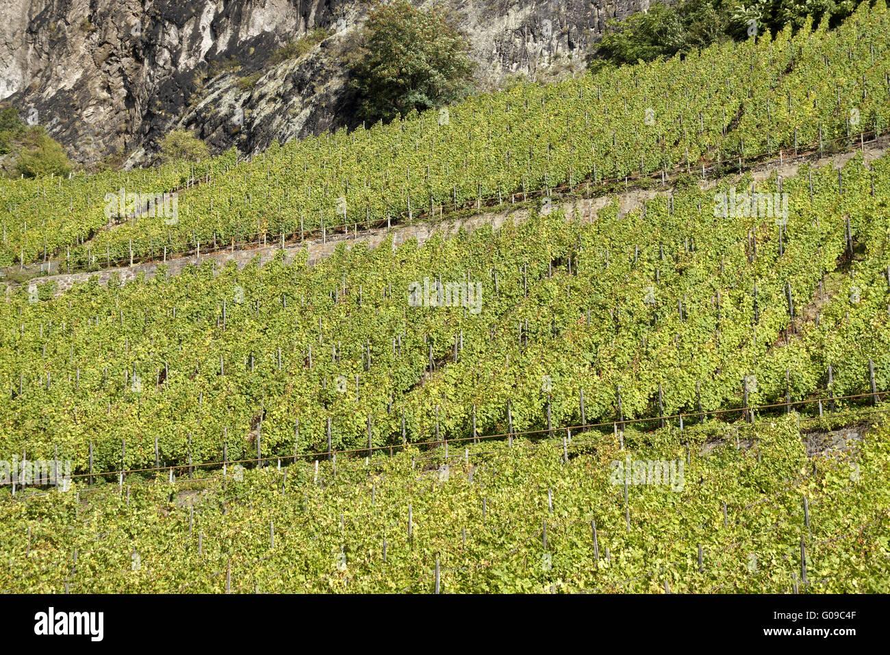 Landscape with vineyards under the Drachenfels, Ko Stock Photo