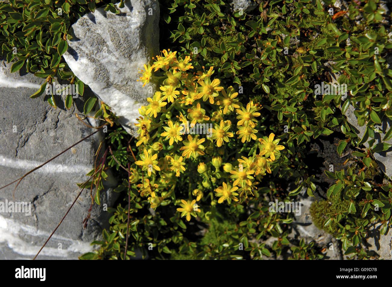Yellow Mountain Saxifrage - Stock Image