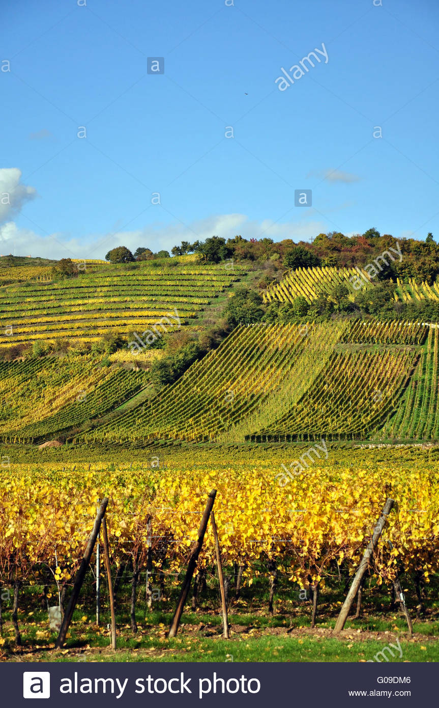 Vineyard at Riquewihr - Stock Image