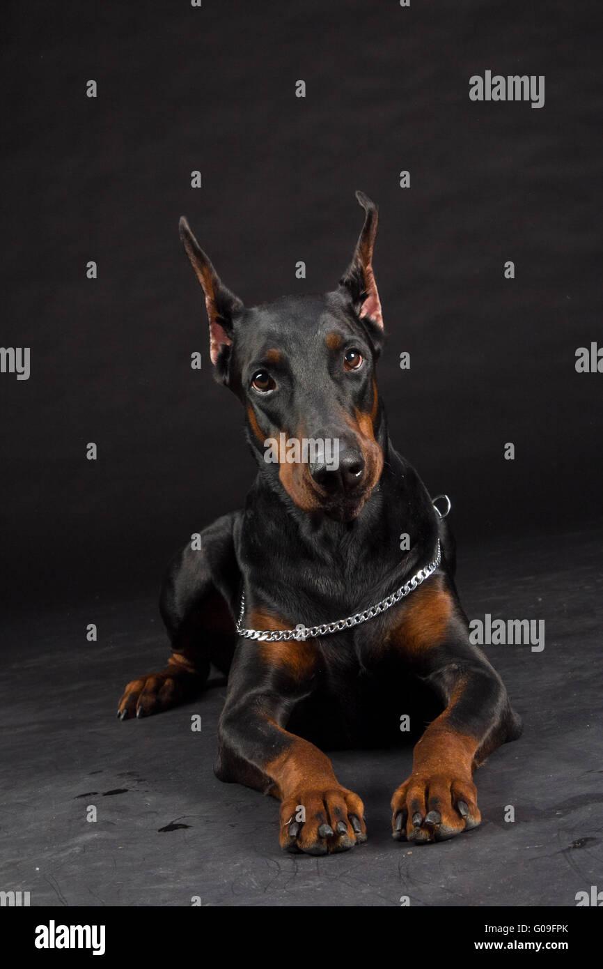 Doberman Pinscher portrait on black. Studio shot of female dog. - Stock Image