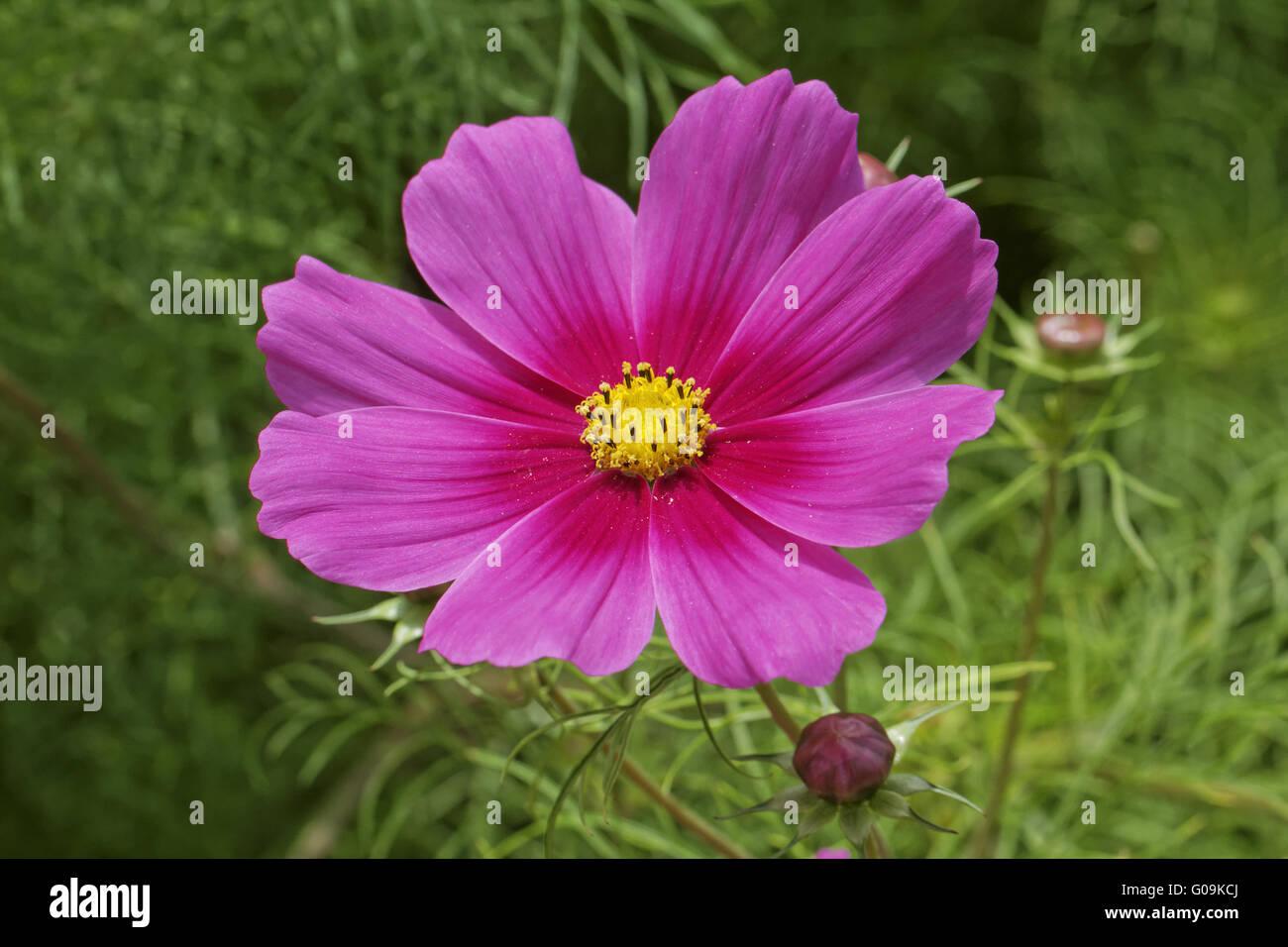 Cosmos bipinnatus, Garden Cosmos, Mexican Aster Stock Photo