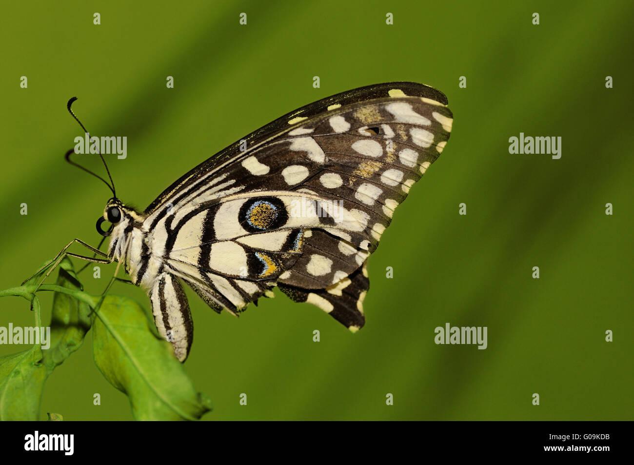 common lime Stock Photo