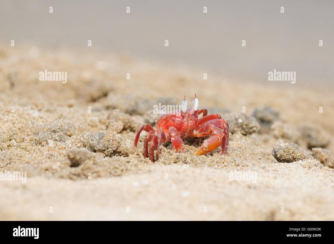 Fiddler Crab - Stock Image