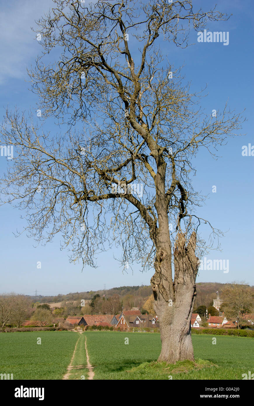 Buckinghamshire - Chiltern Hills - footpath to Little Missenden village - marked by an ancient blasted oak - brilliant - Stock Image