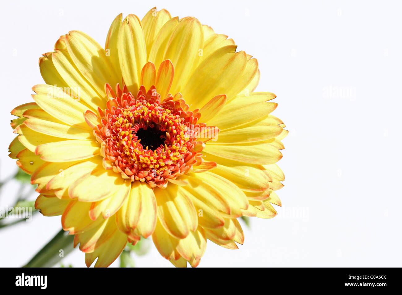 shining flower - Stock Image