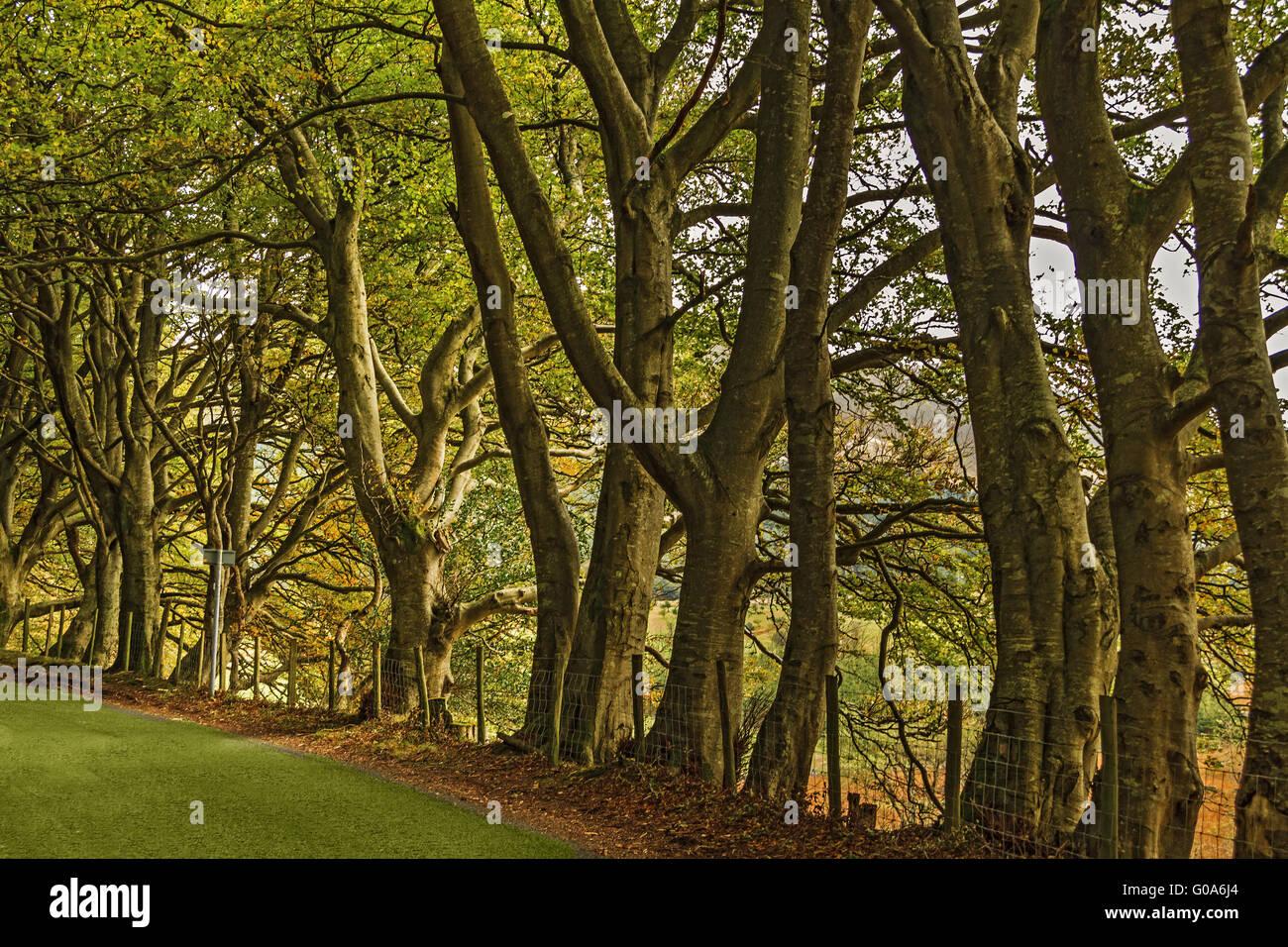 Beach Trees (Fagus)  In Early Autumn Cumbria UK - Stock Image