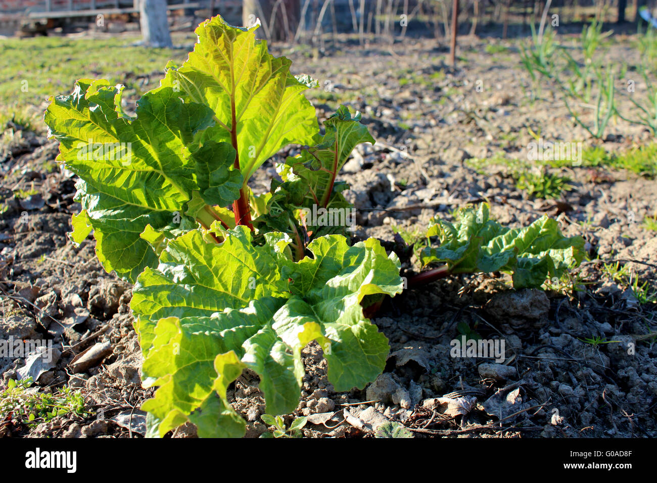 Young sprouts of a rhubarb in the spring Stock Photo