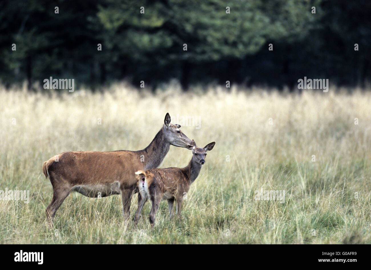 Red Deer hind caring her calf on a forest meadow Stock Photo