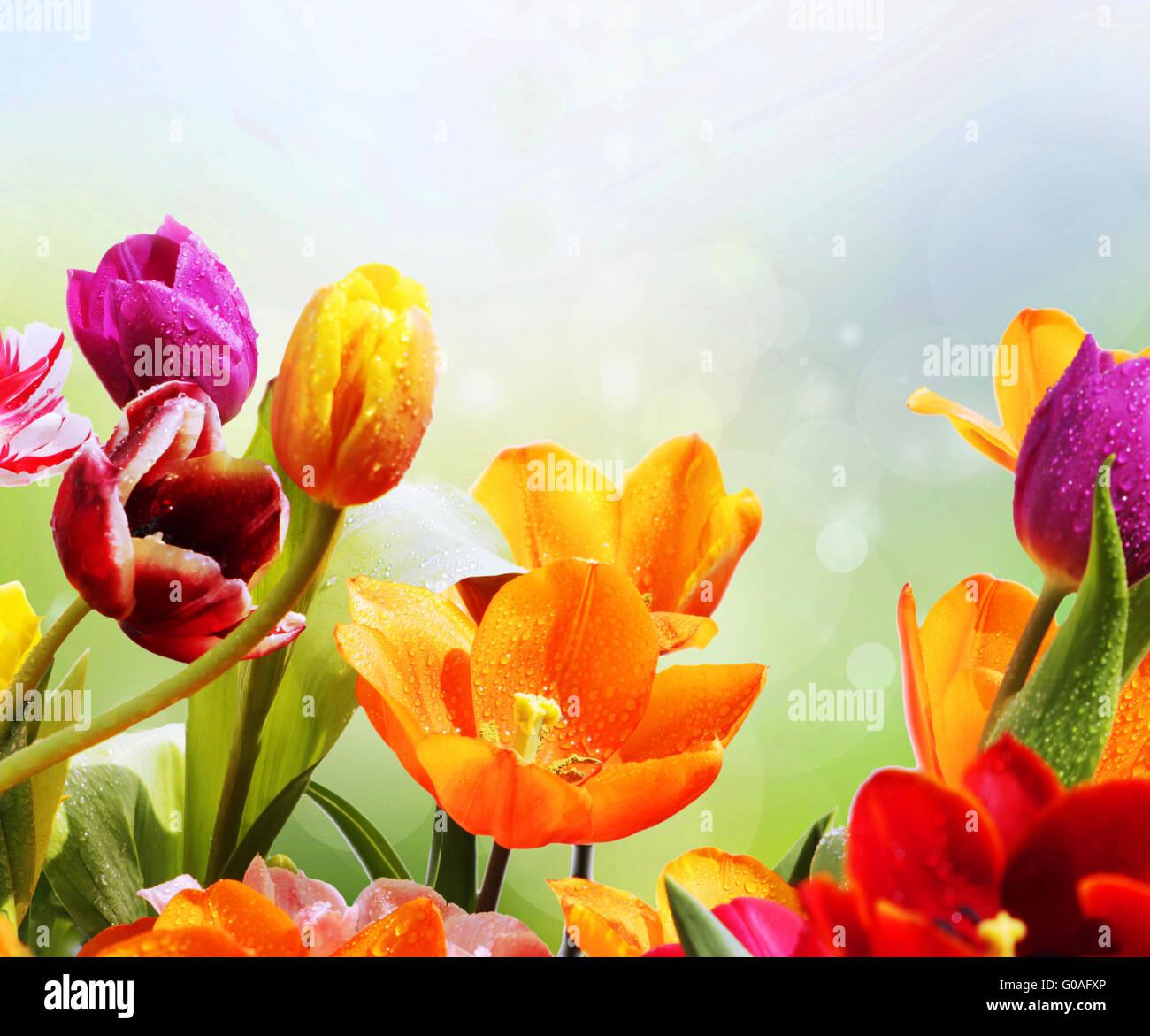 spring motif tulips - Stock Image