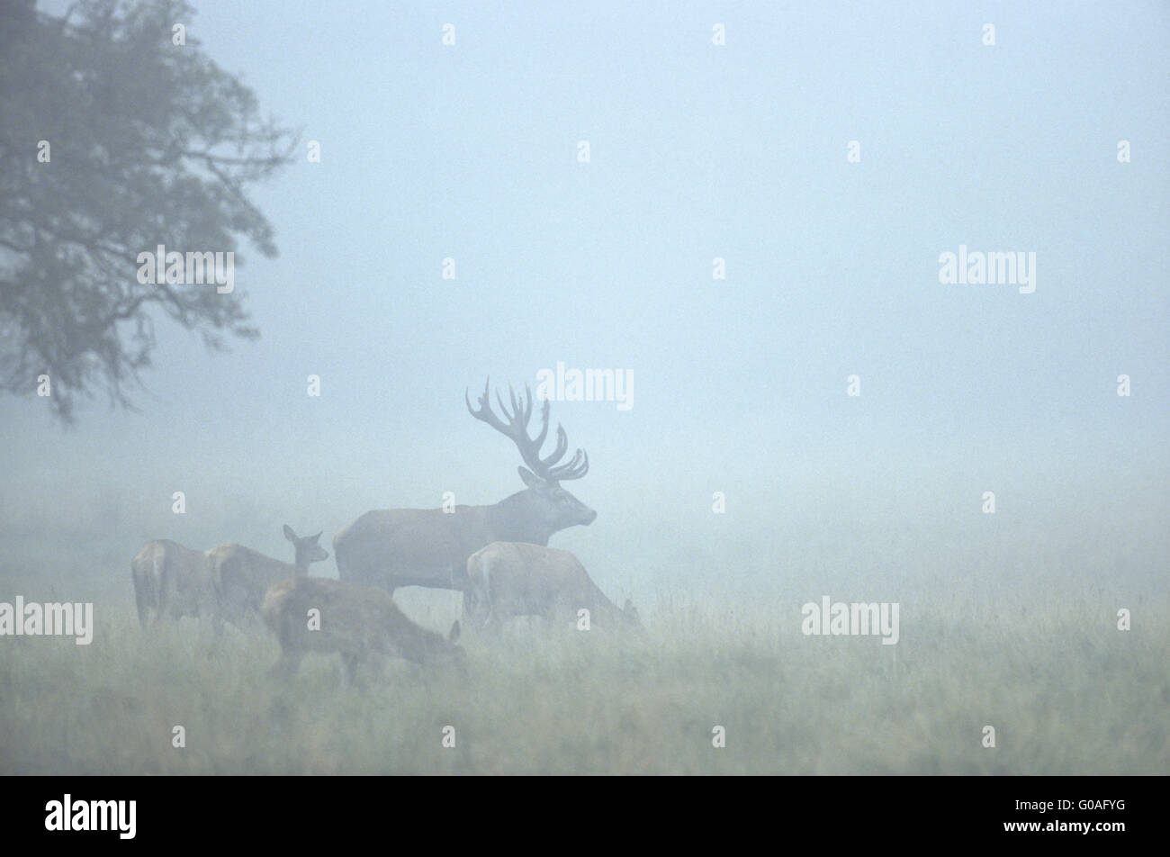 Red Deer stag, hinds and calfs in morning fog Stock Photo