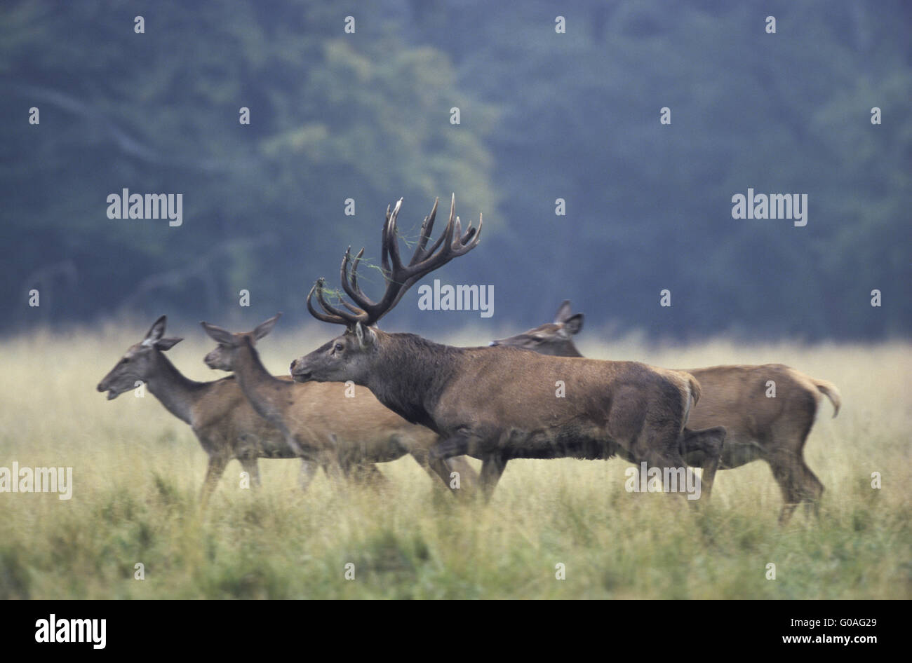 Red Deer stag tests the receptiveness Stock Photo