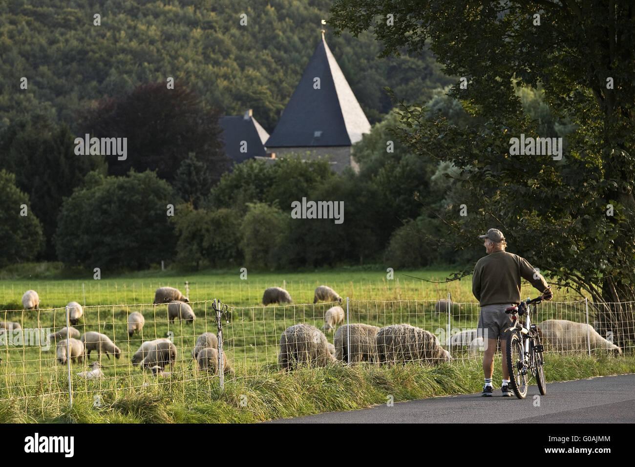 Sheep flock with castle Kemnade, Hattingen,Germany - Stock Image